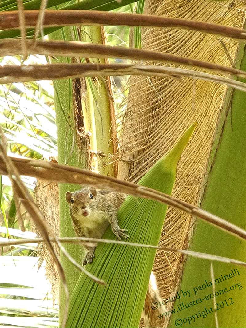 squirrel - tropical nature