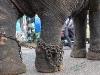 India; Kerala; Indu parade; elefanti; elephant; animal abuse